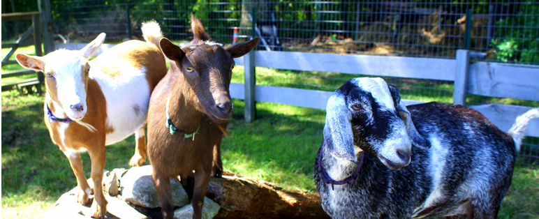 group_goats